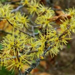 HAMAMELIS VIRGINIANA LEAF WATER reduces skin pores